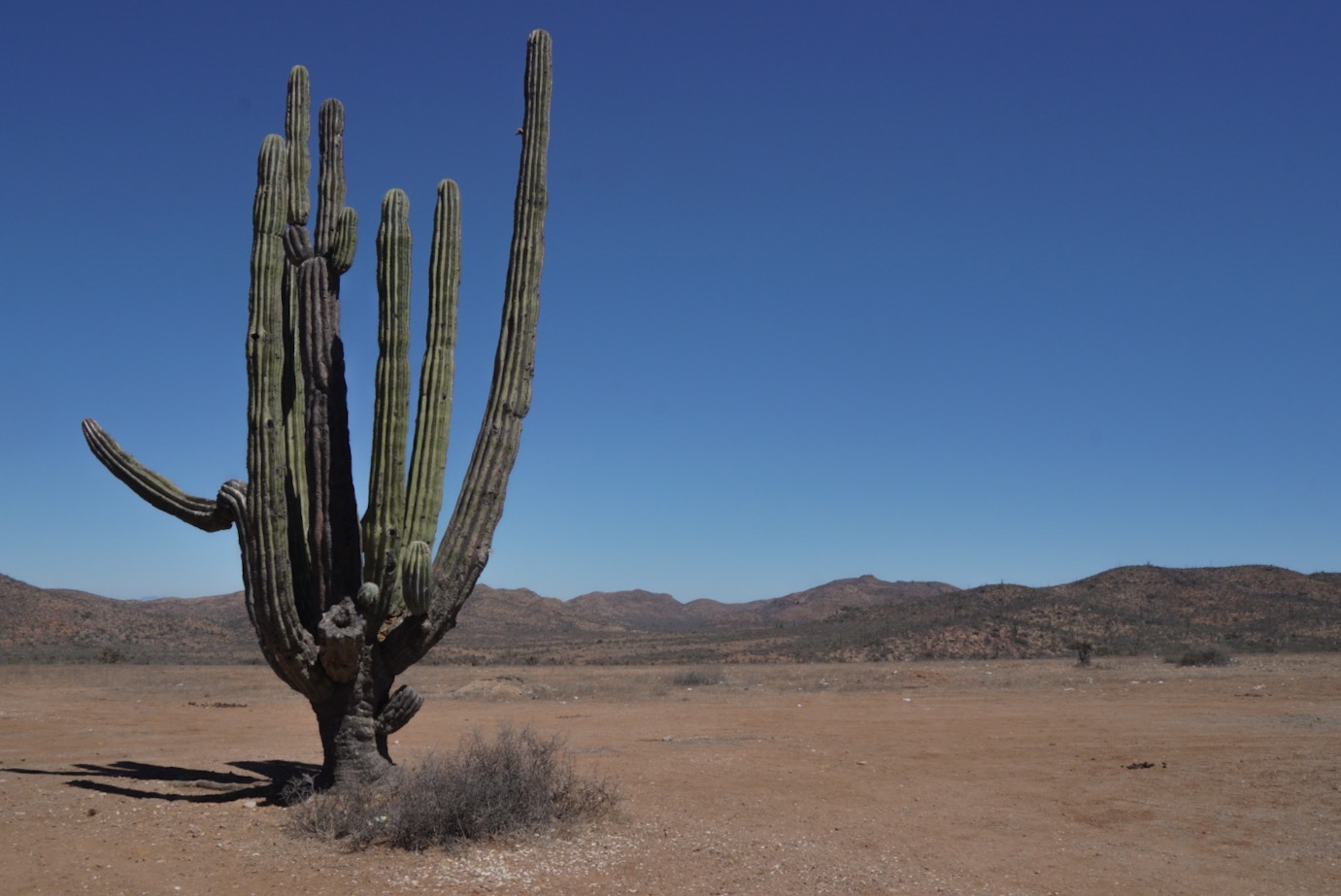 A huge cactus in Baja