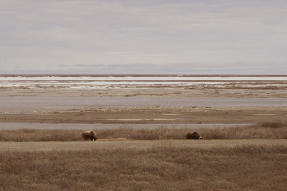 Musk oxen on the tundra